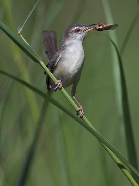 Cara merawat burung ciblek agar bisa makan voer & Mau ...