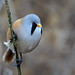 Male bearded Tit in the undergrowth