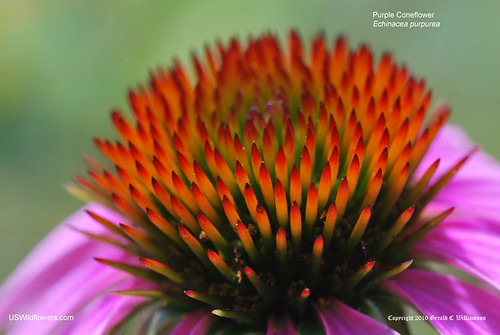 Eastern Purple Coneflower, Purple Coneflower - Echinacea purpurea