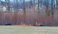 prairie, deer, tree, meadow, wilderness, pasture, wildlife,