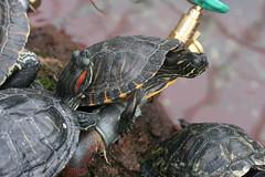 animal, turtle, box turtle, reptile, fauna, emydidae, tortoise,