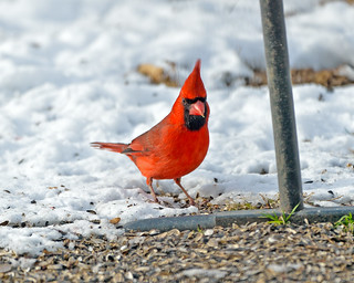 Male Northern Cardinal Feeding In Snow
