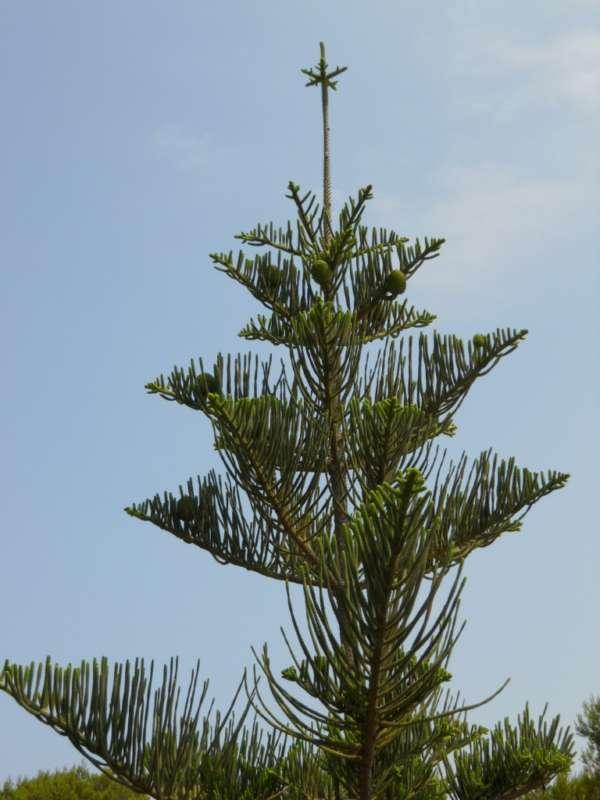 Araucaria heterophylla v 4
