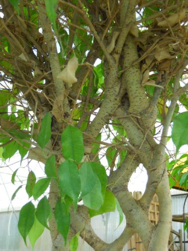 Ficus nitida v 5