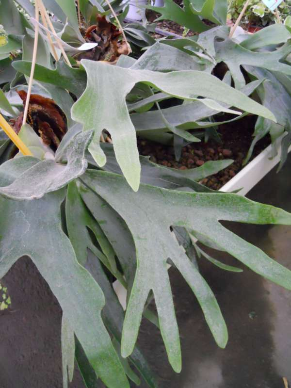 Platycerium bifurcatum v 1