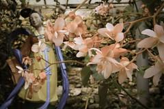 Flowers - Cameron Highlands, Malaysia