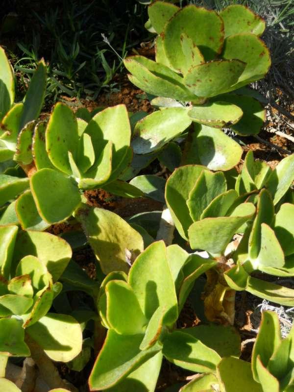 Echeveria gibbiflora v 1