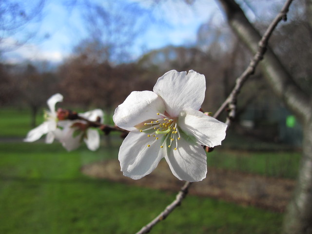 Prunus sargentii 'Fudansakura'. Photo by Rebecca Bullene.