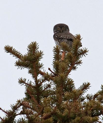 Glaucidium passerinum - Eurasian Pygmy-Owl - Sparvuggla