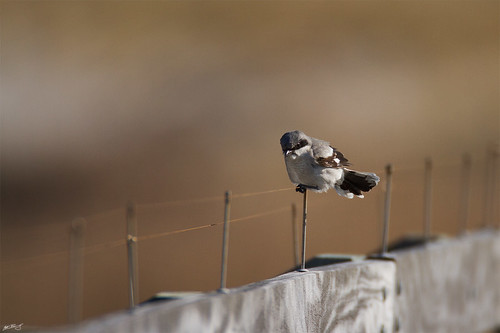 nature birds canon wildlife 7d loggerheadshrike shrike wildbirds 600mm