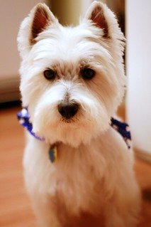 Wee Westie, All Prettied Up