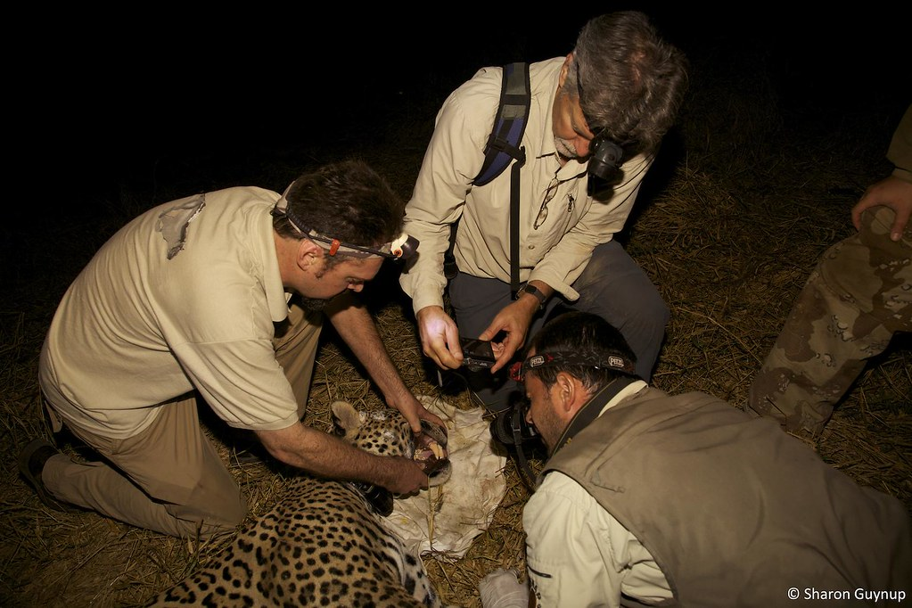 On Sunday, January 30, at 7 p.m. ET/PT, Panthera will be featured on the exclusive CBS '60 Minutes' program, In Search of the Jaguar: Up Close and Rare. CBS News Correspondent Bob Simon and the '60 Minutes' crew spent a week with Panthera's Chairman, Dr. Thomas S. Kaplan, and Panthera's President and CEO, Dr. Alan Rabinowitz, along with our team of jaguar scientists in the Brazilian Pantanal, the world's largest wetland. They were there in search of the Americas' most elusive big cat - the jaguar.    Read about & watch clips from the CBS '60 Minutes' program - In Search of the Jaguar at www.panthera.org/60-minutes and www.cbsnews.com/stories/2011/01/27/60minutes/main7290041.....  Name the first female jaguar collared in the Pantanal during the '60 Minutes' trip at www.panthera.org/name-jaguar-1  Tune in for a live chat about the '60 Minutes' trip with Panthera Pres & CEO, Dr. Alan Rabinowitz, & Panthera's jaguar research team on Wednesday, February 2nd, at 1pm - www.panthera.org/live   Learn about Panthera's Pantanal Jaguar Project at www.panthera.org/programs/jaguar/pantanal-jaguar-project  Learn about the Jaguar Corridor Initiative at www.panthera.org/programs/jaguar/jaguar-corridor-initiative  © Steve Winter/Panthera