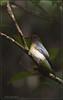 Blue & White Flycatcher (Cyanoptila cyanomelana) by RON PUDIN
