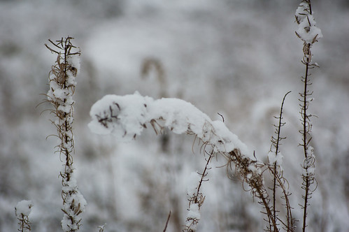 Rosebay willowherb weighed down by snow