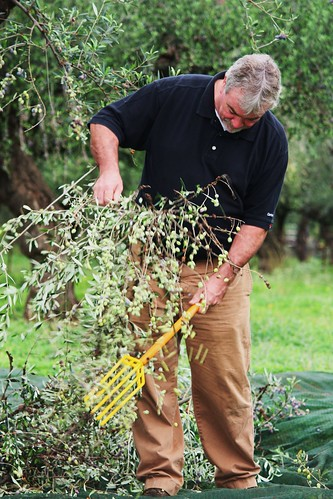 Beating the Olive Branches