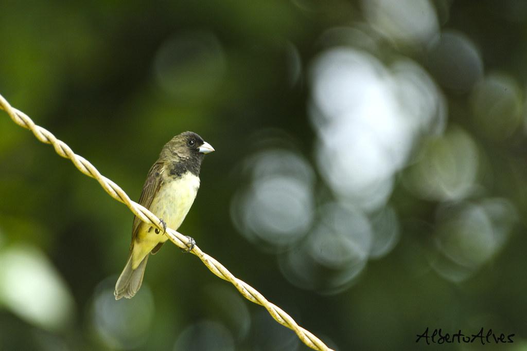 Imagen de una de las aves del Quindio: Espiguero Capuchino (Sporophila Nigricollis)