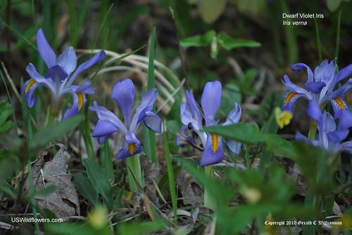 Dwarf Violet Iris, Vernal Iris, Spring Iris - Iris verna