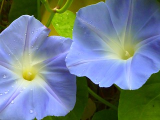 Ipomea purpurea - morning glory
