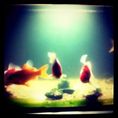 深夜の金魚。