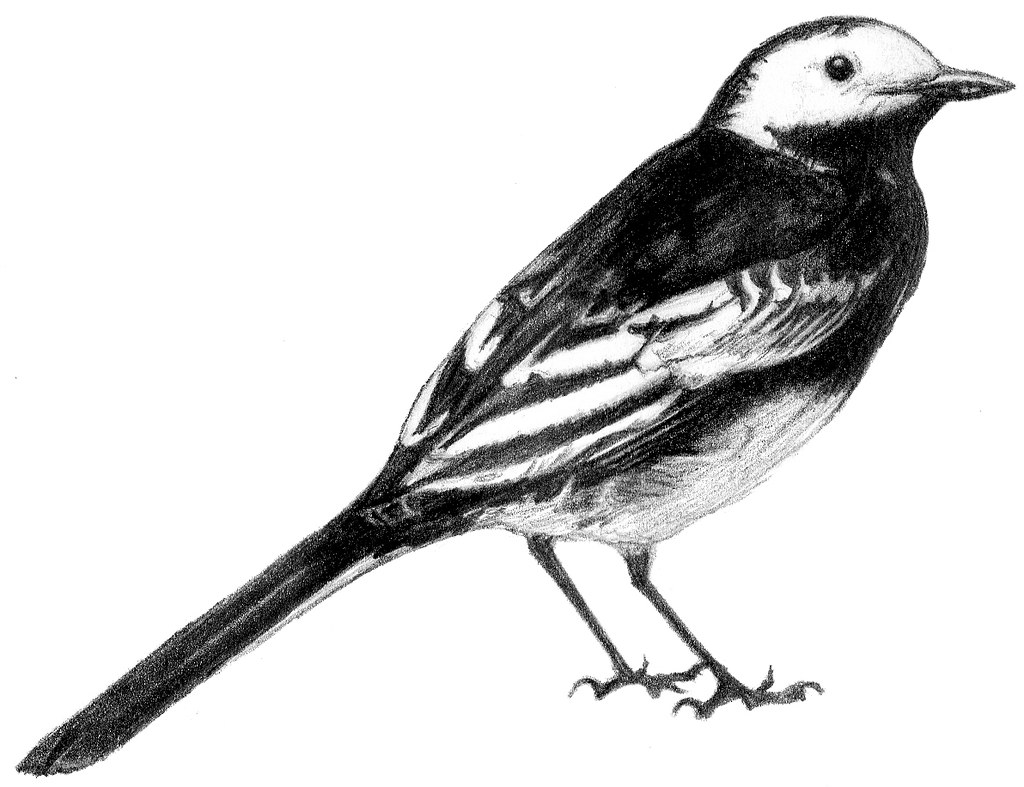 White Wagtail Drawing Pied Wagtail