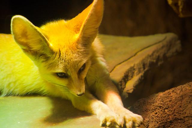 Cute Fennec Fox Stretching