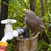 Small photo of Thirsty Babbler