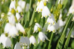 blossom(0.0), narcissus(0.0), flower(1.0), yellow(1.0), plant(1.0), galanthus nivalis(1.0), flora(1.0),