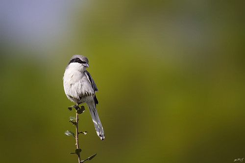 nature birds canon wildlife 7d loggerhead loggerheadshrike shrike wildbirds 600mm