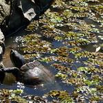 Bild von Botanical Garden in der Nähe von Porto Alegre. fauna turtle botanicalgarden redearedslider