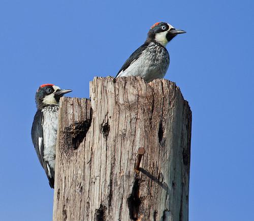 Acorn Woodpecker (Melanerpes formicivorus) - Samlarspett