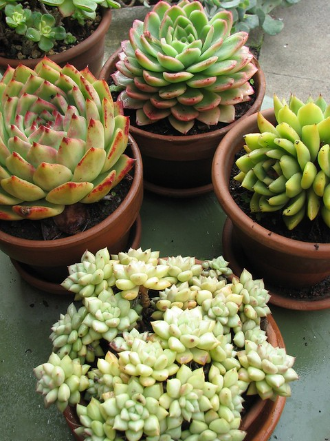 Some of our potted succulent collection