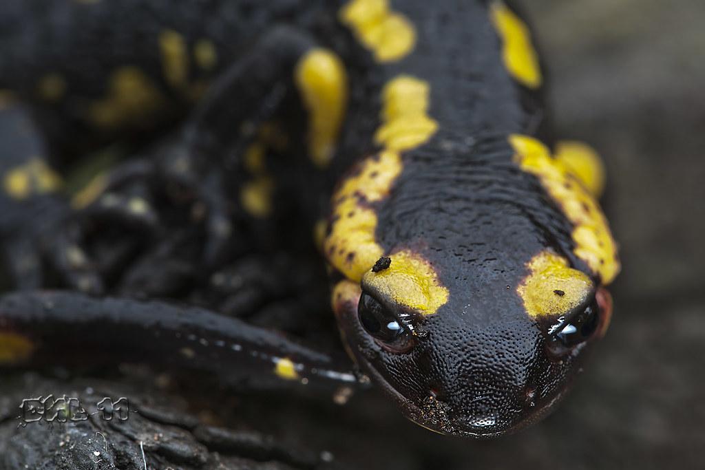огненная саламандра фото и описание