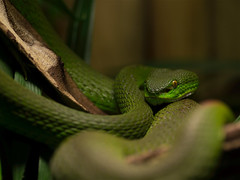 animal, serpent, western green mamba, snake, reptile, green, fauna, close-up, scaled reptile,