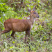 Indian Muntjac - Photo (c) Tarique Sani, some rights reserved (CC BY-NC-SA)
