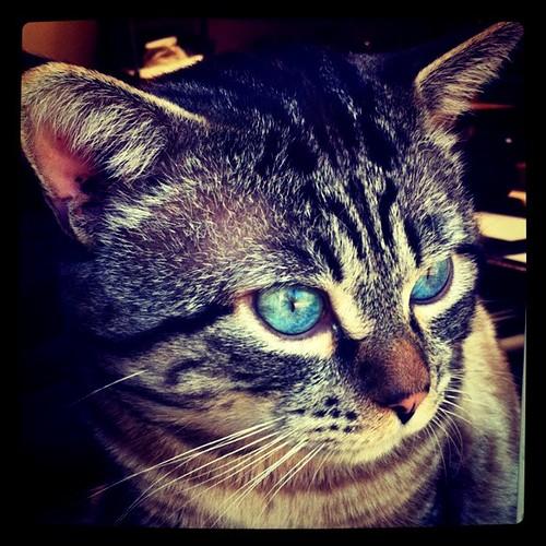 Cheshire - One of the Ojai Digital Dojo cats