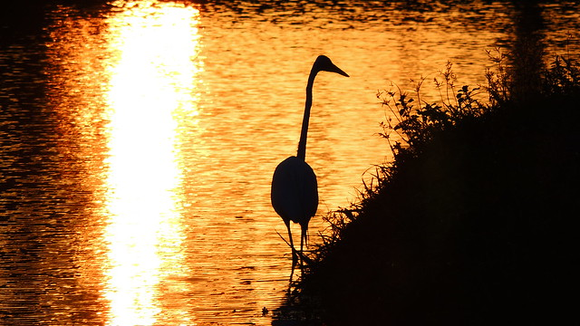 Egret in the Sunset