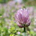 Chive Flower with Thyme Bokeh