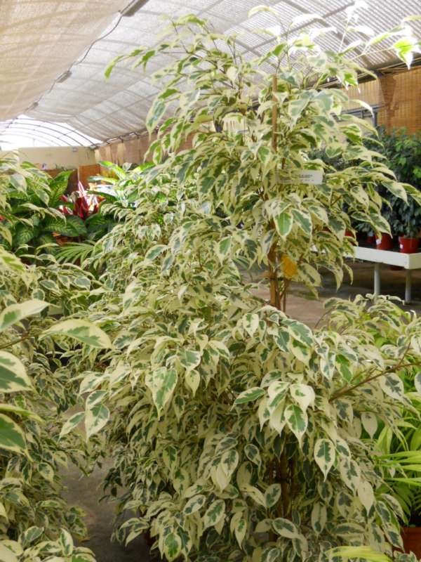 Ficus benjamina 'Starlight' v 4