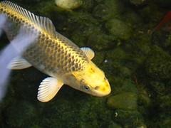 animal, carp, fish, yellow, fish, marine biology, koi, fauna, aquarium,