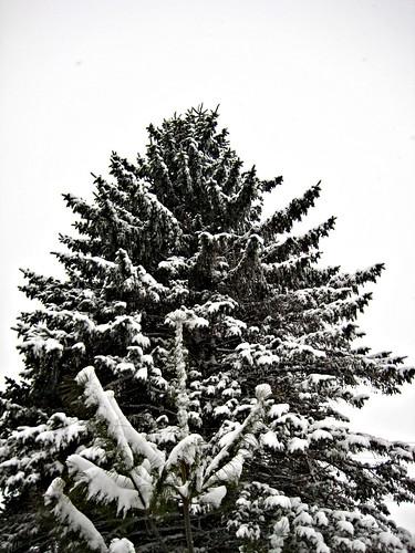 Giant pine tree