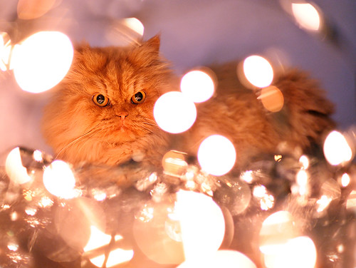 Garfi-Cat is Playing with Christmas Lights