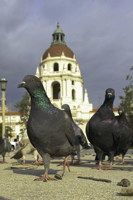 pasadena pigeons