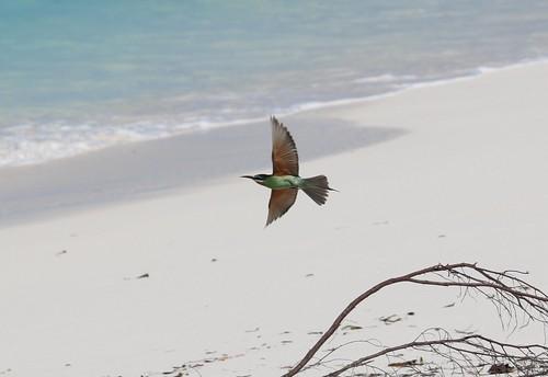 Seychelles Birds - Bee Eater by Gerwin Sturm