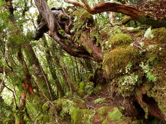 Cloud Forest, Paparoa Ranges, West Coast, NZ