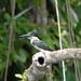 Small photo of Amazon Kingfisher female (Pati Rouzer)