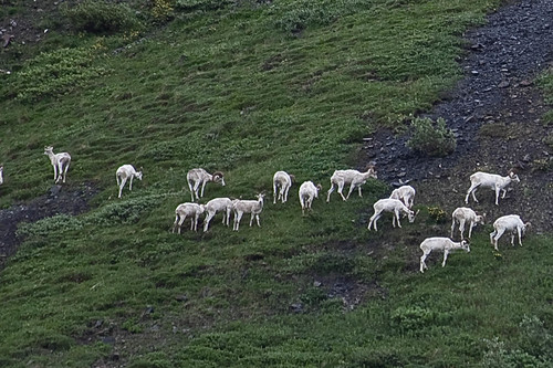 A herd of Dahl's sheep in Denali National Park