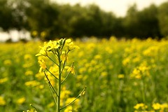 grass(0.0), food(0.0), pasture(0.0), grassland(0.0), canola(1.0), prairie(1.0), agriculture(1.0), vegetable(1.0), flower(1.0), field(1.0), yellow(1.0), sunlight(1.0), mustard plant(1.0), brassica rapa(1.0), plant(1.0), mustard(1.0), wildflower(1.0), produce(1.0), crop(1.0), meadow(1.0), rapeseed(1.0), rural area(1.0),