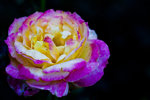 Pink n yellow rose