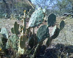 barbary fig(0.0), food(0.0), flower(1.0), plant(1.0), thorns, spines, and prickles(1.0), flora(1.0), eastern prickly pear(1.0), nopal(1.0), opuntia(1.0), cactus family(1.0),