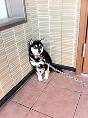 初めて家の外にでたらビビる黒柴犬